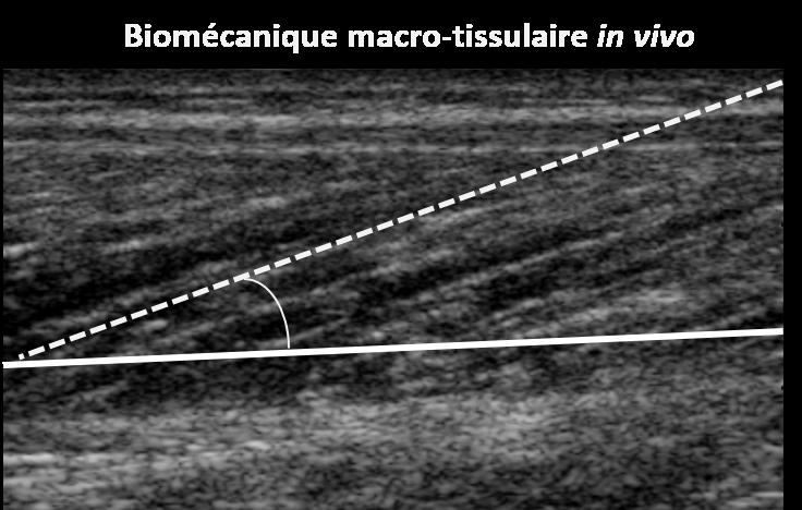 BiomecaniqueMacroTissulaireinvivo